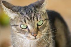 Retrato de mármore doméstico do gato, contato de olho, cara bonito da vaquinha fotos de stock