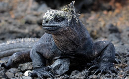 Retrato de Marine Iguana en las islas de las Islas Galápagos Imágenes de archivo libres de regalías