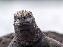Retrato de Marine Iguana estranha, hassi do cristatus do Amblyrhynchus, Santa Cruz, Galápagos, Equador fotos de stock royalty free