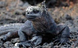 Retrato de Marine Iguana nas Ilhas Galápagos Imagens de Stock Royalty Free
