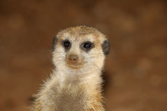 Retrato de Meerkat Fotografía de archivo libre de regalías