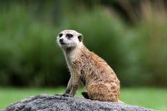 Retrato de Meerkat Imagens de Stock
