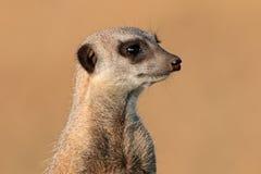 Retrato de Meerkat Imagens de Stock Royalty Free