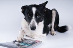 Retrato de mentira del perro con la calculadora Imágenes de archivo libres de regalías