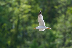 Retrato de michahellis amarelo-equipados com pernas do larus da gaivota em voo Imagens de Stock Royalty Free