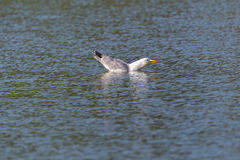 Retrato de michahellis amarelo-equipados com pernas nadadores do Larus da gaivota Fotos de Stock