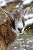 Retrato de Mouflon Foto de archivo