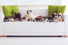 Retrato de nove cachorrinhos caucasianos os mais bonitos do pastor que encontram-se na fileira no sofá em casa imagens de stock royalty free