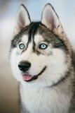 Retrato de ojos azules de Gray Adult Siberian Husky Dog Imagenes de archivo