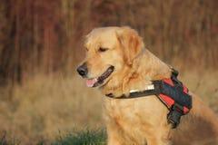 Retrato de oro del perro Foto de archivo libre de regalías