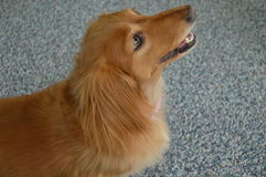 Retrato de oro del perro basset foto de archivo