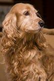 Retrato de oro del perro de aguas foto de archivo libre de regalías