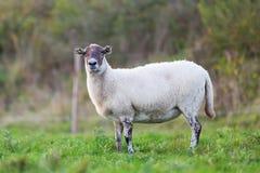 Retrato de ovejas en el pasto imagen de archivo