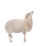 Retrato de ovejas en sombrero de la Navidad en blanco Imagen de archivo libre de regalías