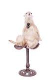 Retrato de ovejas en sombrero de la Navidad en blanco Foto de archivo