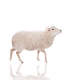 Retrato de ovejas en sombrero de la Navidad en blanco Imagenes de archivo