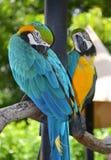Retrato de papagaios da arara das Amazonas Imagem de Stock Royalty Free