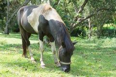 Retrato de pastar el caballo de bahía Imagen de archivo