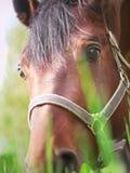 Retrato de pastar o close up agradável do cavalo Foto de Stock