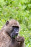 Retrato de Pavian (P Anubis) que come uma folha, Botswana Fotografia de Stock Royalty Free