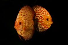 Retrato de peixes Symphysodon dos peixes do disco do aquário no backround preto imagem de stock
