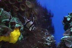 Retrato de peixes tropicais Fotografia de Stock Royalty Free