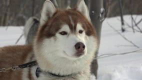 Retrato de perros de la raza fornida antes de la competencia de deporte de invierno - el competir con de perro de trineo