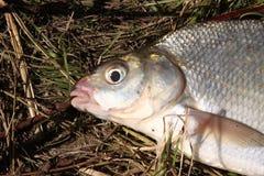 Retrato de pescados en una hierba Imágenes de archivo libres de regalías