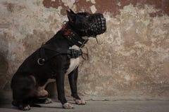 Retrato de Pit Bull americano no focinho no estúdio Fotos de Stock Royalty Free