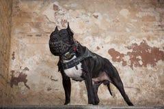 Retrato de Pit Bull americano no focinho no estúdio Fotografia de Stock Royalty Free