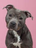 Retrato de Pitbull Fotografia de Stock