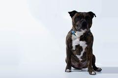 Retrato de Pitbull Imagens de Stock Royalty Free
