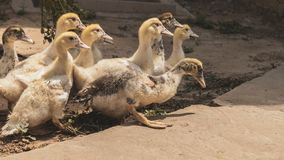 Retrato de pollos jovenes Varios anadones fueron para un paseo Sonrisa y alegría en la cara del animal imágenes de archivo libres de regalías