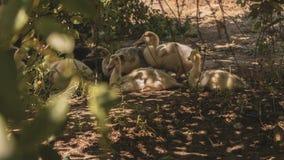Retrato de pollos jovenes Varios anadones fueron para un paseo Sonrisa y alegría en la cara del animal fotos de archivo