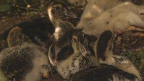 Retrato de pollos jovenes Varios anadones fueron para un paseo Sonrisa y alegría en la cara del animal imagen de archivo