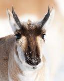 Retrato de Pronghorn Fotografia de Stock