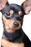 Retrato de Puppie Imagen de archivo