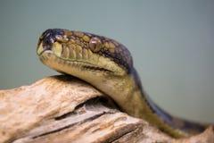 Retrato de Python foto de archivo libre de regalías