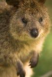 Retrato de Quokka Foto de Stock