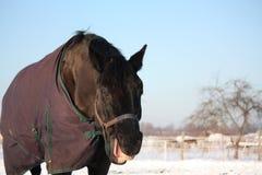 Retrato de rir o cavalo preto imagens de stock royalty free