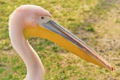 Retrato de Rosy Pelican grande imágenes de archivo libres de regalías