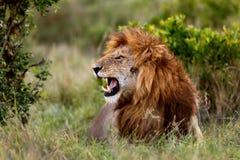 Retrato de rujir Lion Ron no Masai Mara Imagem de Stock Royalty Free