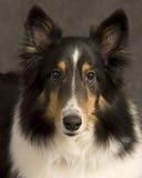 Retrato de Sheltie foto de archivo