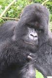 Retrato de Silverback del gorila Fotografía de archivo