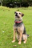 Retrato de Terrier Fotos de Stock Royalty Free