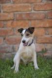 Retrato de Terrier branco bonito Imagens de Stock Royalty Free