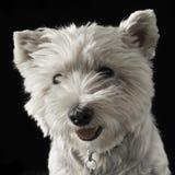 Retrato de Terrier branco de montanhas ocidentais em um fundo escuro Foto de Stock