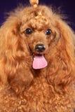 Retrato de Toy Poodle vermelho novo foto de stock royalty free