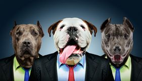 Retrato de três cães do negócio imagens de stock