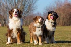 Retrato de três cães-pastor australianos Imagem de Stock Royalty Free